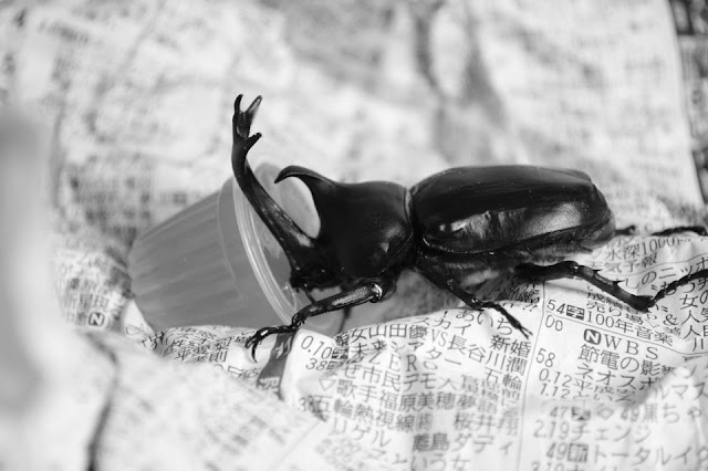 Kabutomushi, Feeding, Japan, Beetle,
