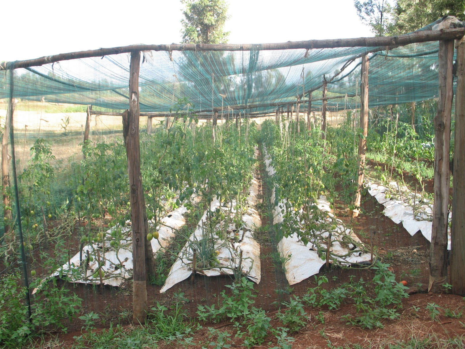 Good The Tomatoes Were Mulched With Co Extruded Plastic Mulch Which Reduces The  Water Evaporation And The Weeds. The Garden Also Included Onions, Green  Peppers ...