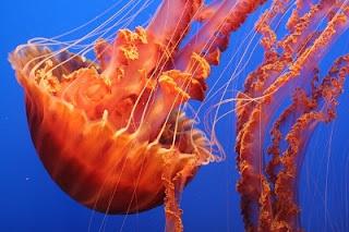 Medusa mare