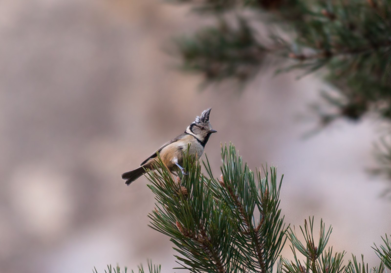 Crested Tit - Spain