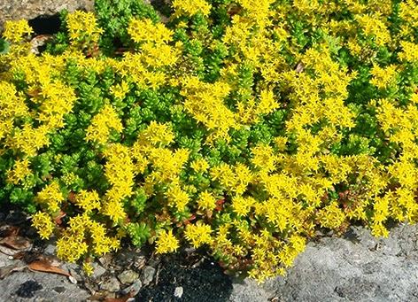 Pampajaritos (Sedum acre)flor amarilla