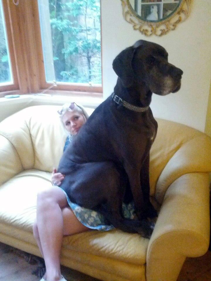 Big Dogs Think They Re Lap Dogs