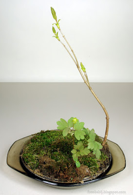 http://fotobabij.blogspot.com/2015/11/bonsai-i-pizmaczek-wiosenny.html