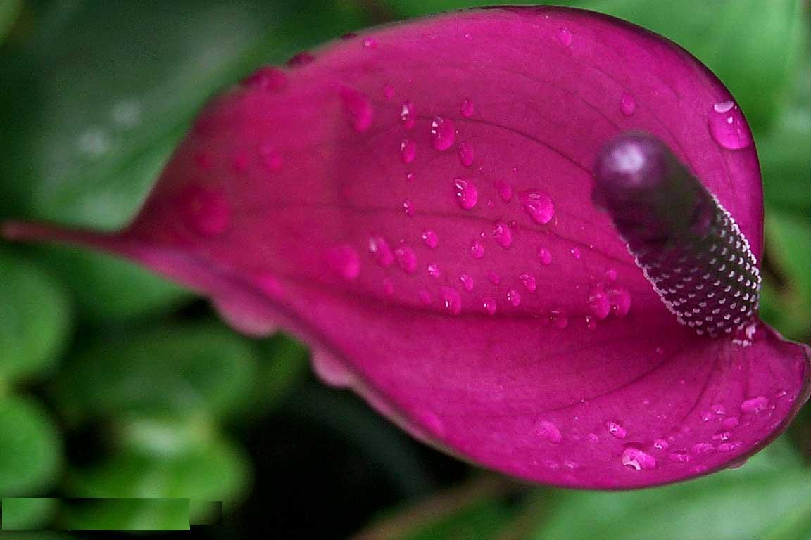Flower Picture: Anthurium Picture
