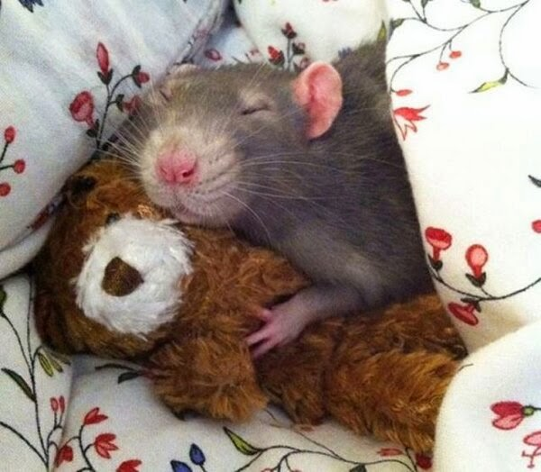 Funny animals of the week - 31 January 2014 (40 pics), rat sleeps hugging stuffed bear