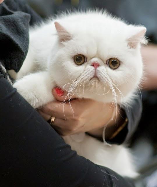 10 Jenis Kucing Tercantik Di Dunia
