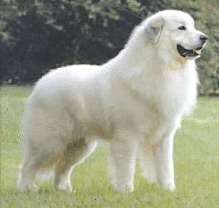 Cute Dogs|Pets: Pyrenean Mountain Dog