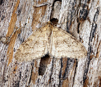 Latest New Macro Moth Species - Early Tooth-striped