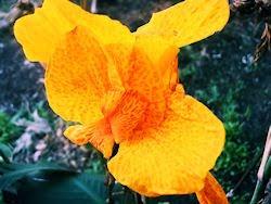 Flores - Achira - Canna Indica