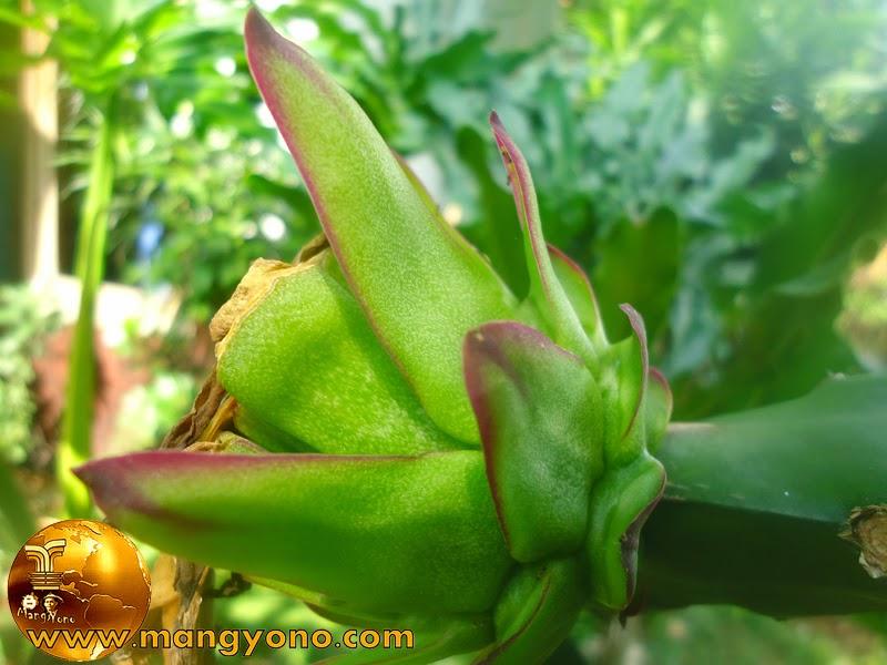 FOTO: Bunga Buah Naga sudah membentuk buah, namun warnanya masih hijau