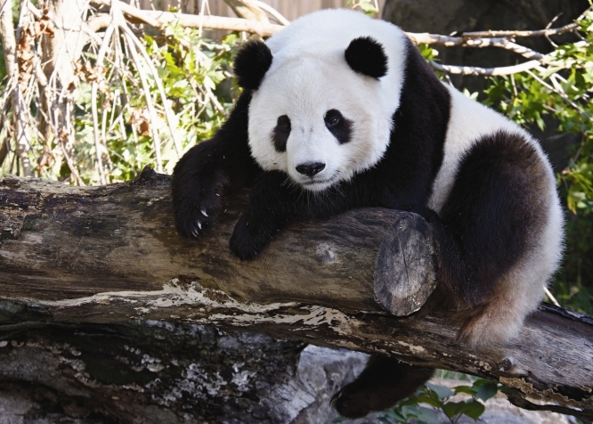how long do pandas live in the wild