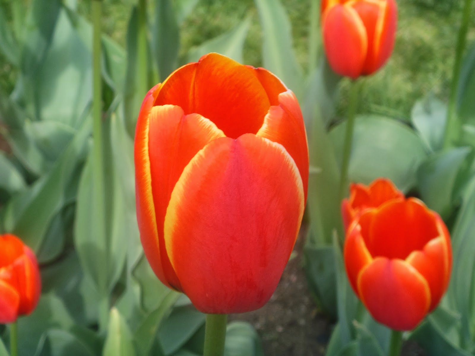 Red tulips with yellow edges