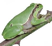 Perereca-Comum (Hyla sp. e Phyllomedusa sp.)