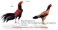 Ayam Jago Bangkok Thailand