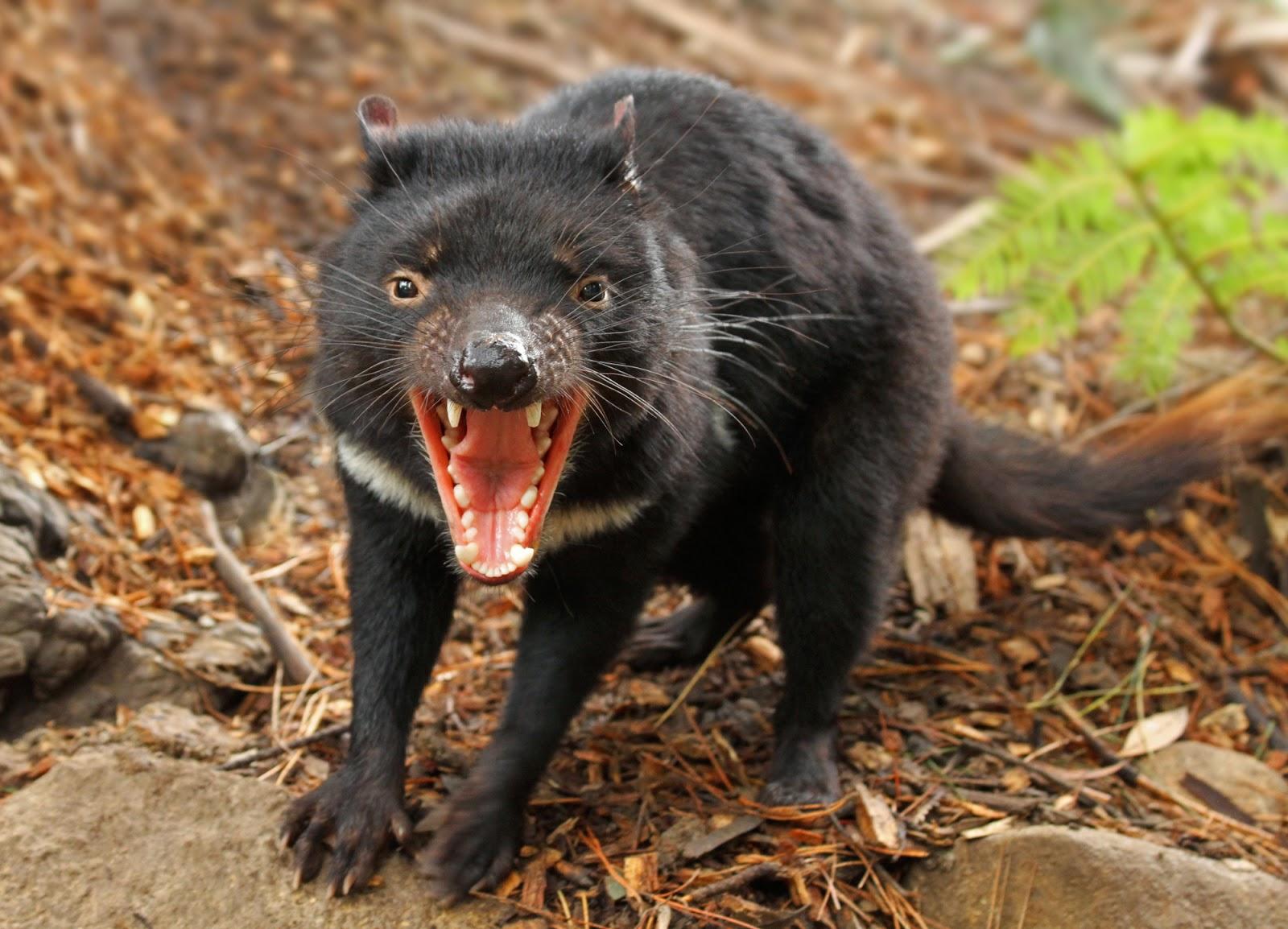 Tasmanian devil interesting facts latest pictures all wildlife photographs - Tasmanian devil pics ...