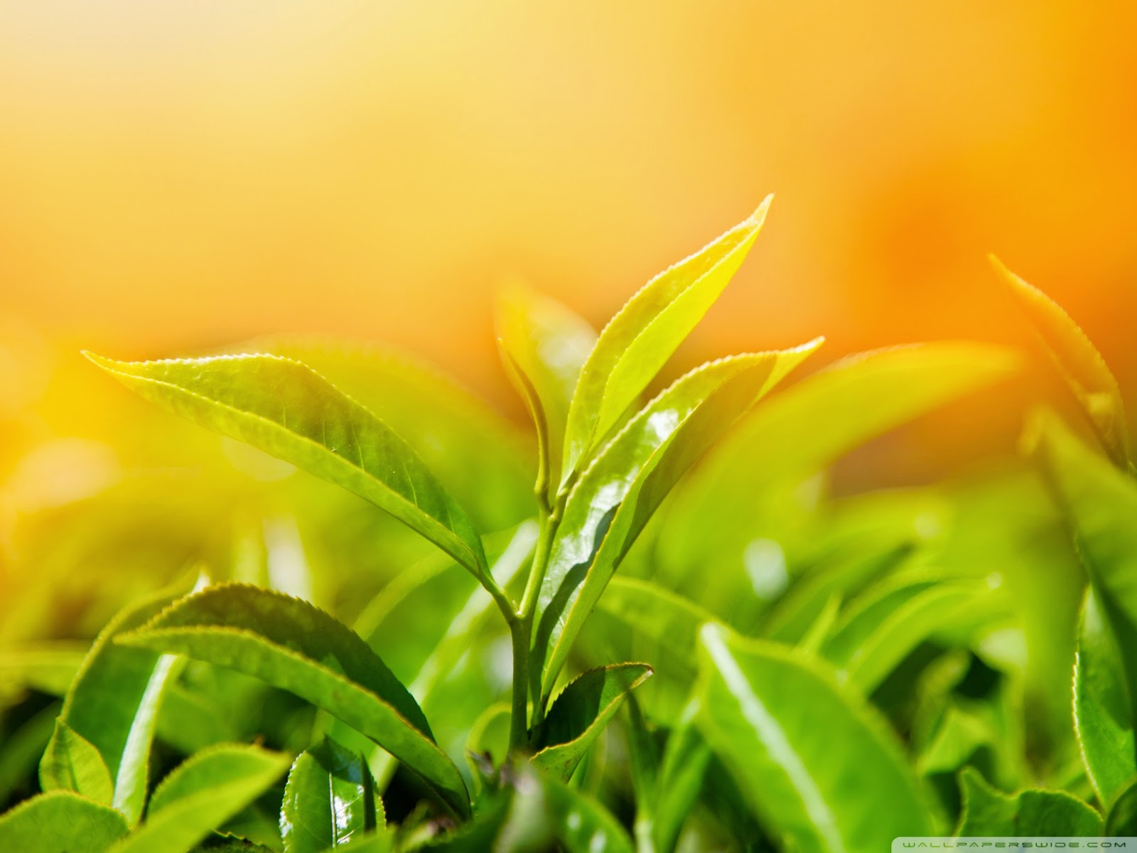 spring_leaves_2-wallpaper-1680x1260