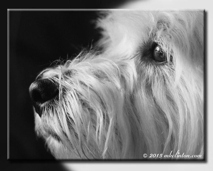 Pierre Westie close-up in B & W