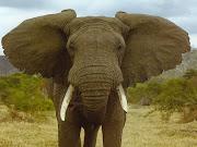 Conheça o Blog o  Elefante Feroz.