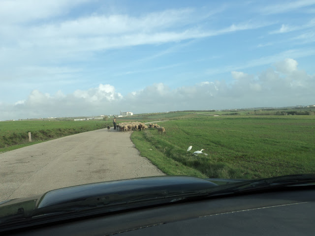 sheep and egrets