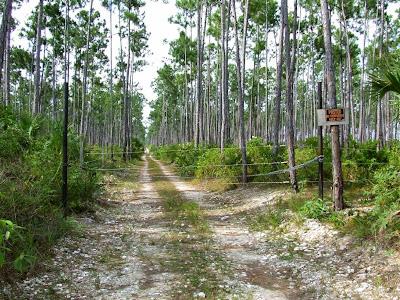 Bosque de Pinos de Abaco_2