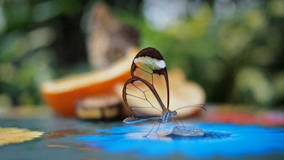 Mariposa de alas transparentes - Transparent butterfly wings