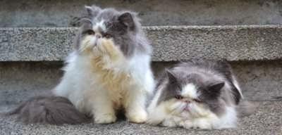 Jenis-kucing-persia-paling-diminati