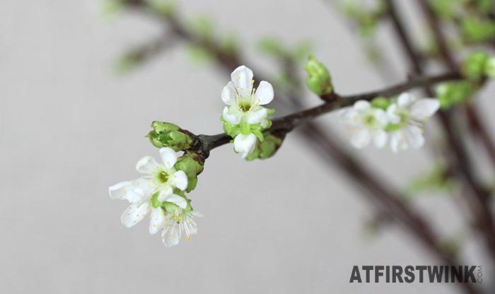 white cherry blossom sakura