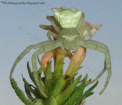 Green Crab Spider Picture