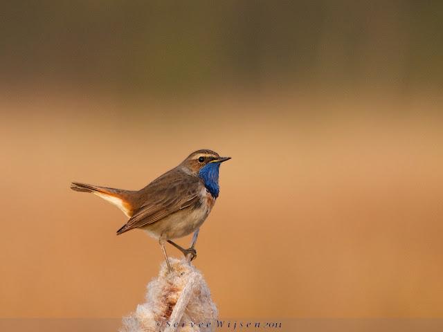 Blauwborst - Bluethroat - Luscina svecica