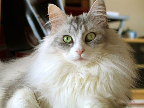 Are all ragdoll cats long haired