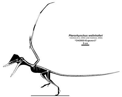Pterorhynchus skeleton