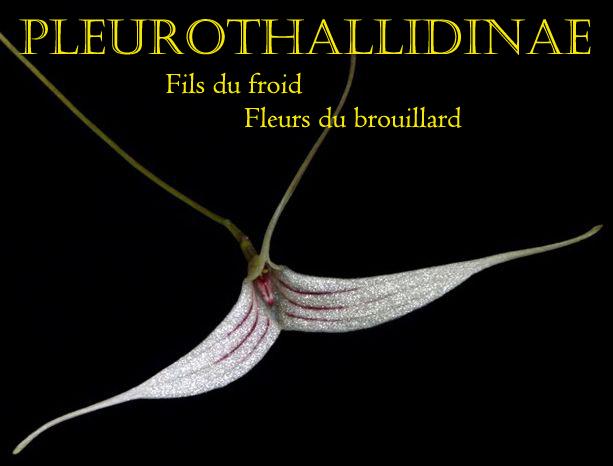 Pleurothallidinae, Masdevallia