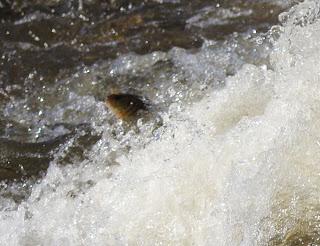 Fish launch
