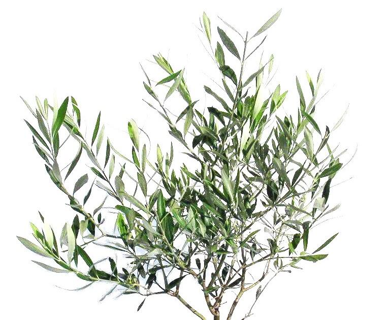 Plante exotice maslin 5 ani 70 cm for Plante 70 cm