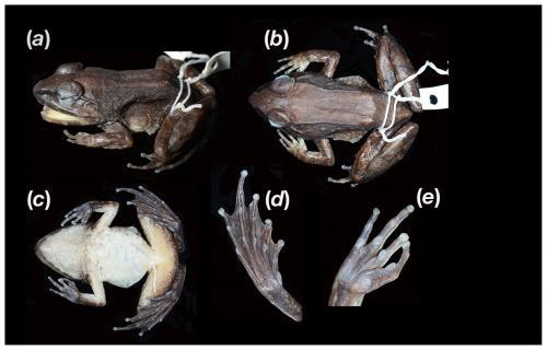 Katak Limnonectes Larvaepartus
