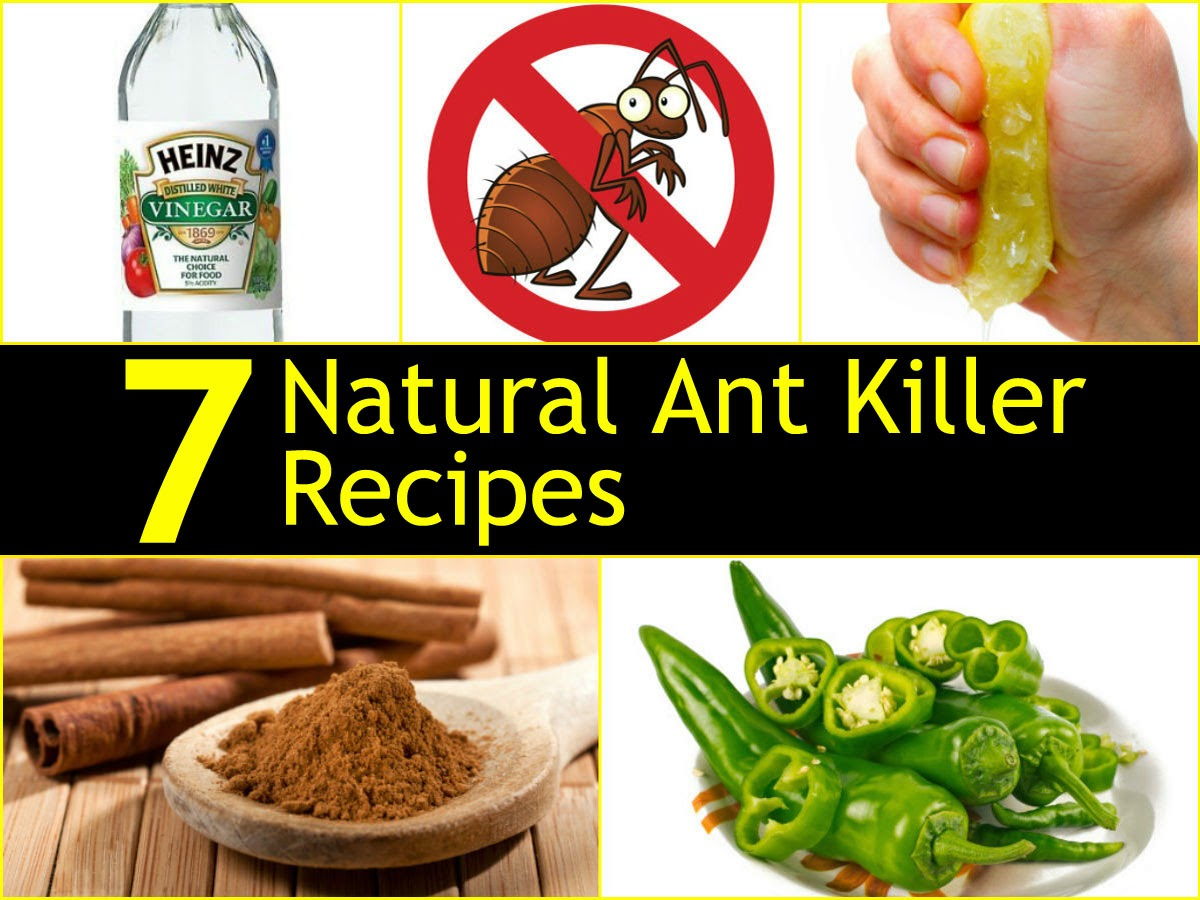 7 natural ant killer recipes handy diy