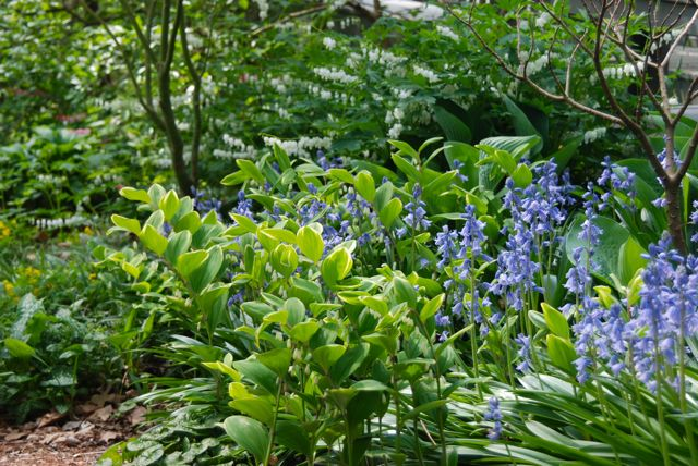 ... including Sapnish bluebells (Scilla campanulata 'Excelsior'), variegated Solomon's seal (Polygonatum odoratum 'Cariegatum') and bleeding hearts, Lamprocapnos spectabilis 'Alba' which have received a Latin update (they used to be Dicentra spectabilis 'Alba').