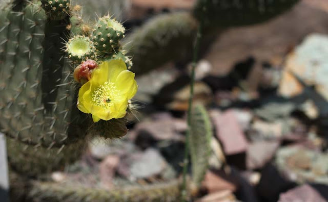 Cactus Flowers Pictures