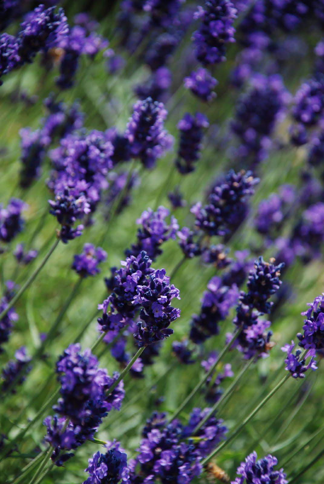 Lavendel sommardoft