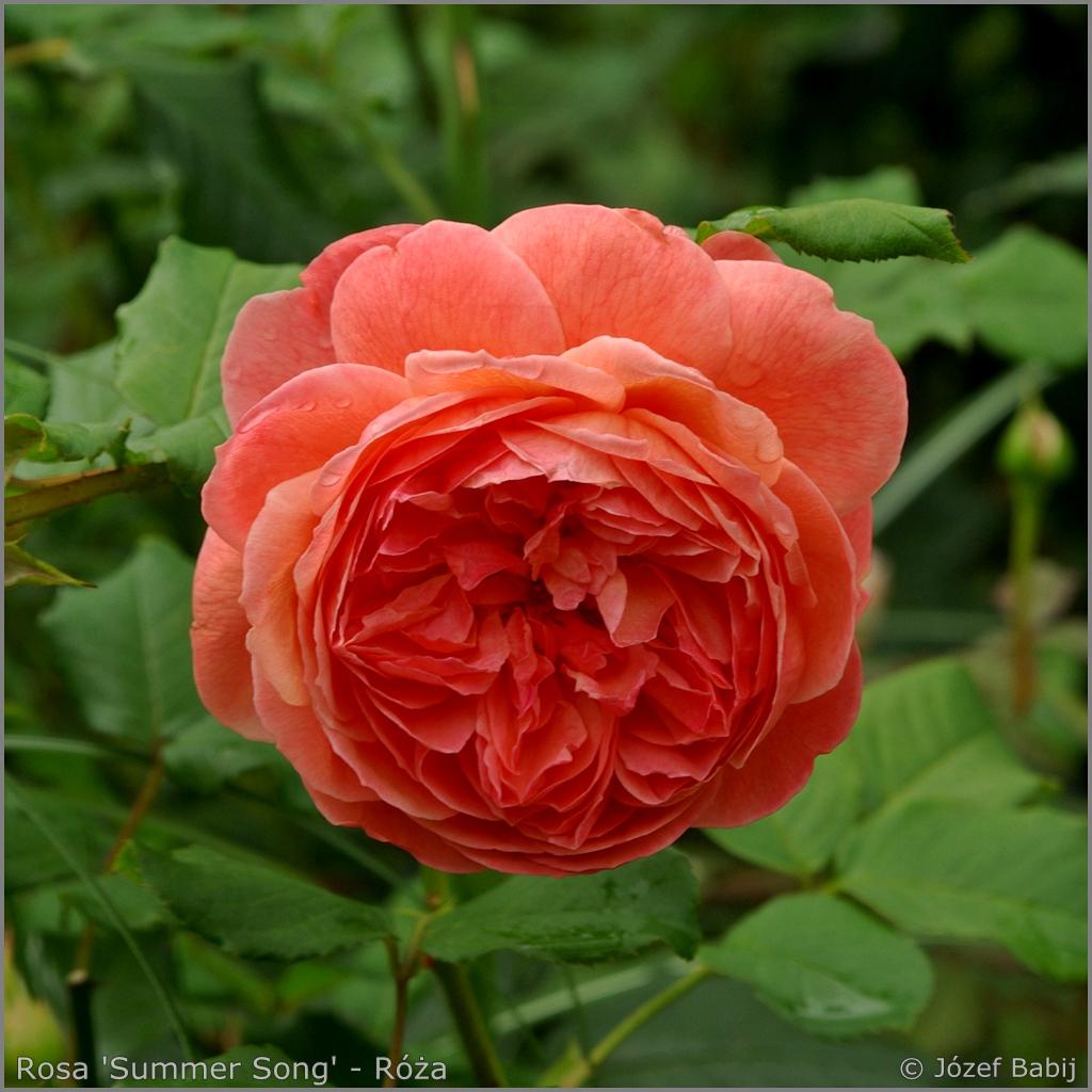 Rosa 'Summer Song' - Róża 'Summer Song'