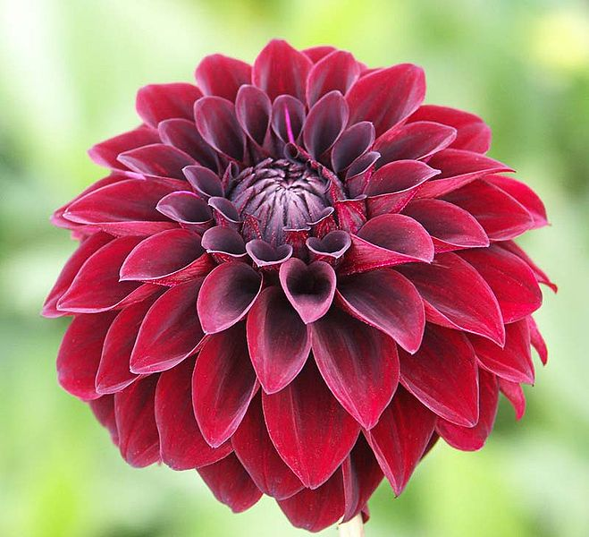 Amazing garden the meaning of dahlia flower for Flowers that look like dahlias