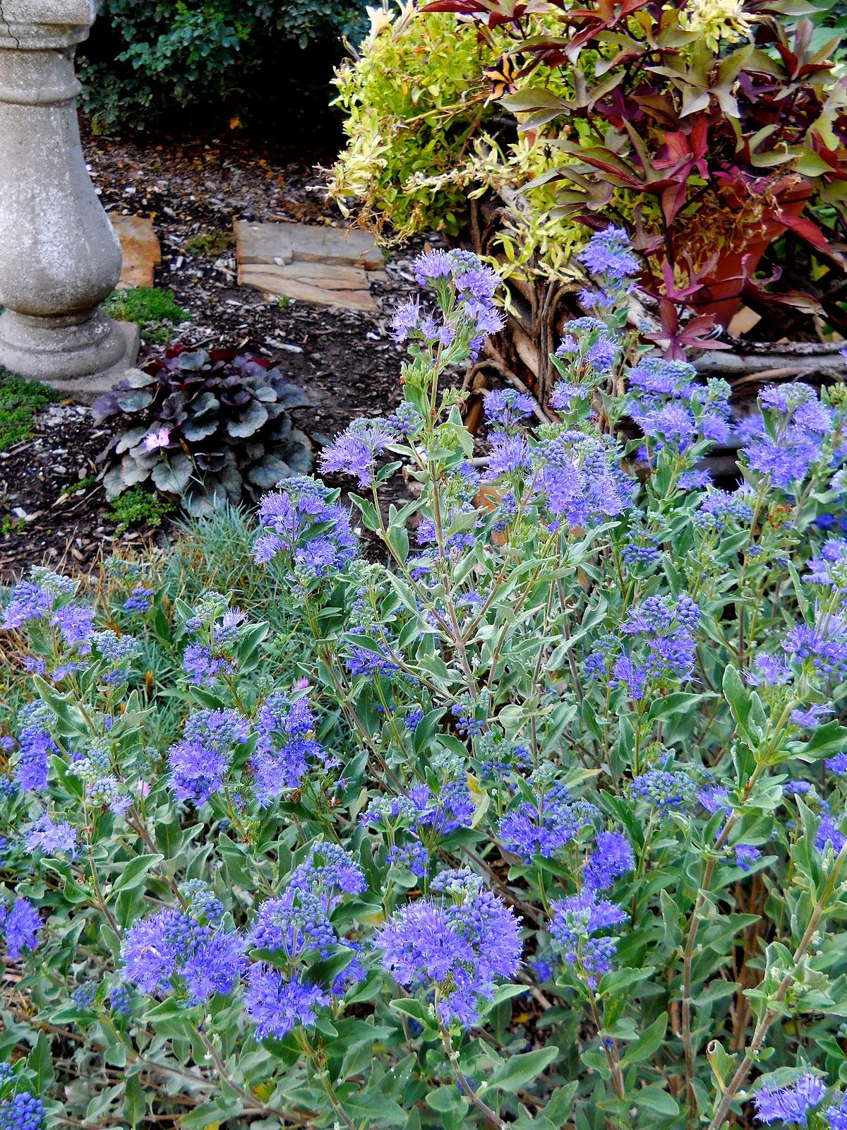 Blue lyme grass blue dune - Blue Mist Spirea In Bloom
