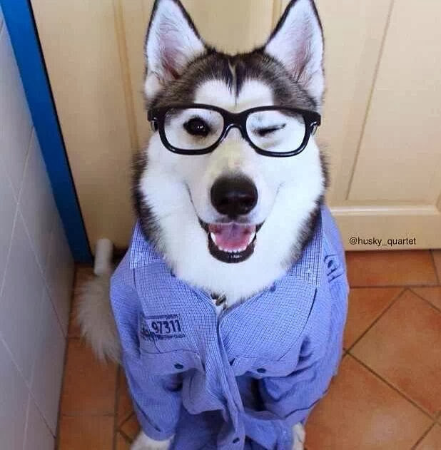 Cute dogs (50 pics), dog pictures, cute husky wears glasses and shirt
