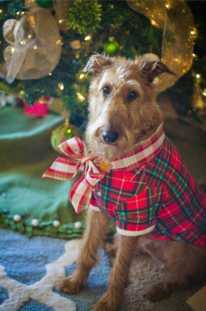 irish terrier at Christmas