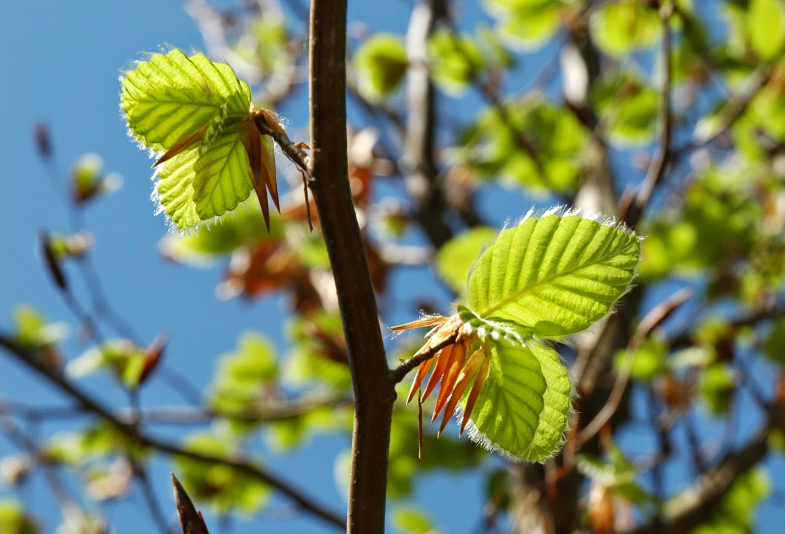 Benefits Of Beech Tree (Fagus Grandifolia) For Health