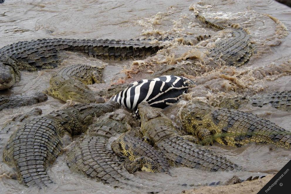 Largest Crocodile Ever Killed Biggest croc ever killed