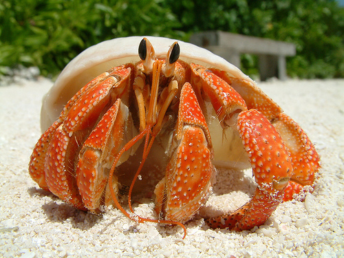 Hermit crab - photo#4