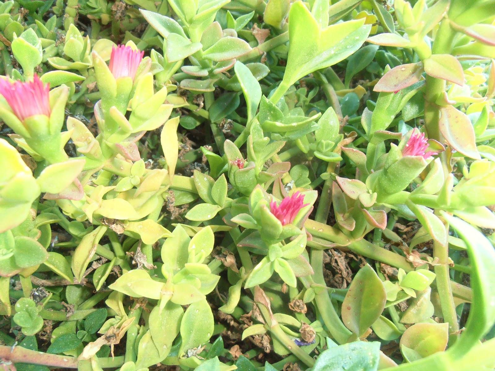 La ventana de javiruli plantas crasas 6 roc o for Plantas crasas interior