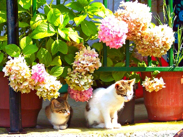 hortensia cats