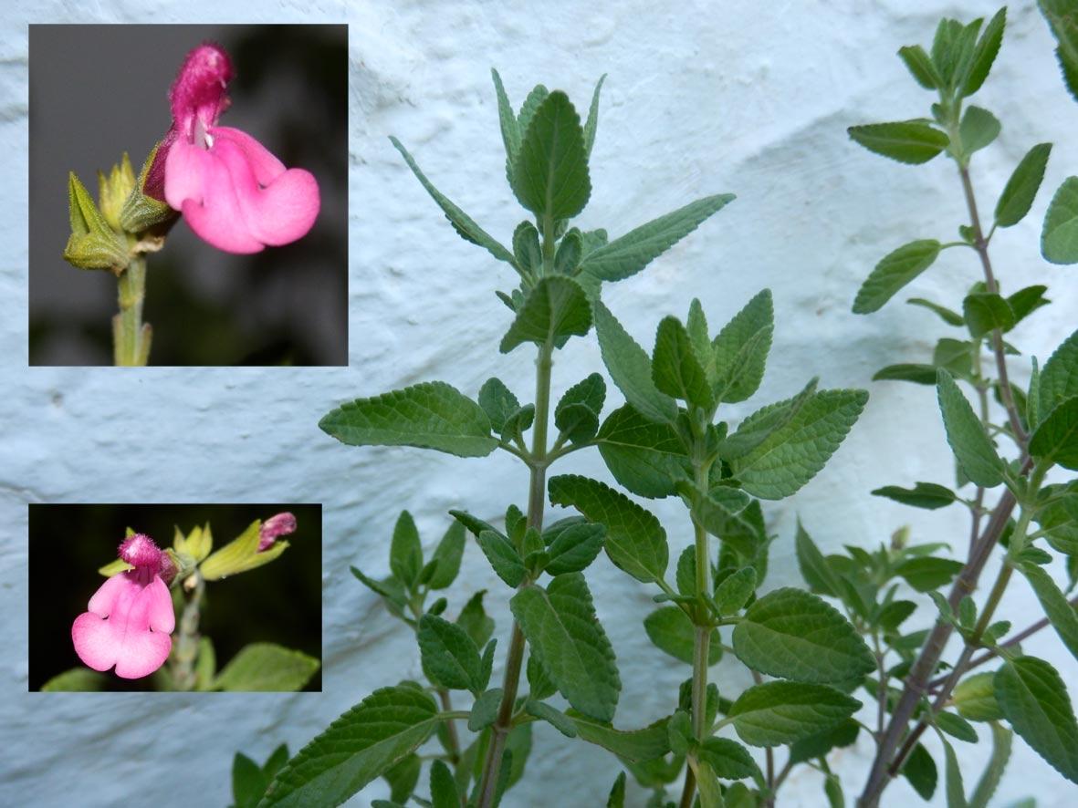 Salvia microphylla cf. neurepia. Detall de la flor
